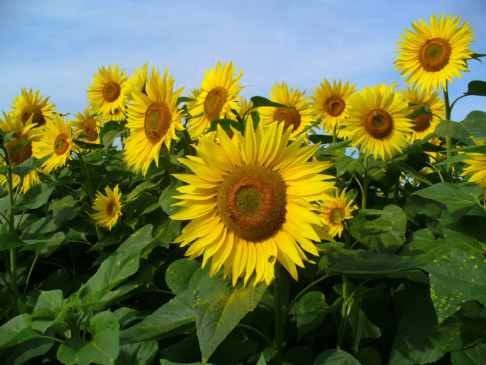 Grow and Care Sunflowers (Helianthus annuus)