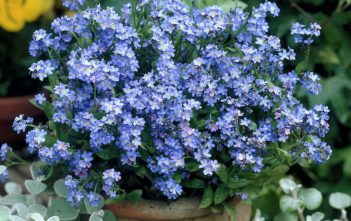 Forget-Me-Not Plants