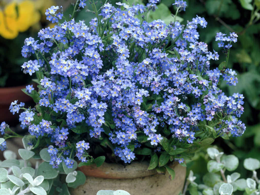 how to grow and care for a forget me not plant myosotis sylvatica world of flowering plants. Black Bedroom Furniture Sets. Home Design Ideas