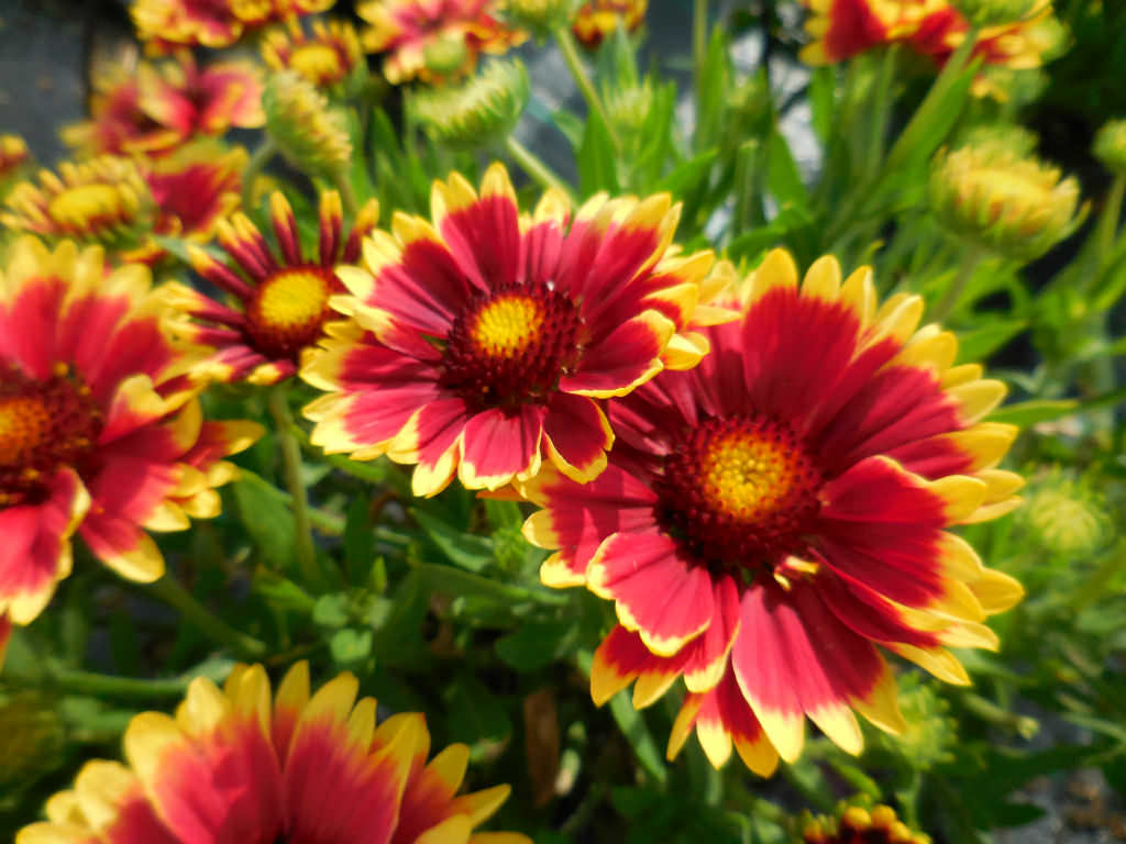 How To Grow And Care For Blanket Flowers World Of Flowering Plants