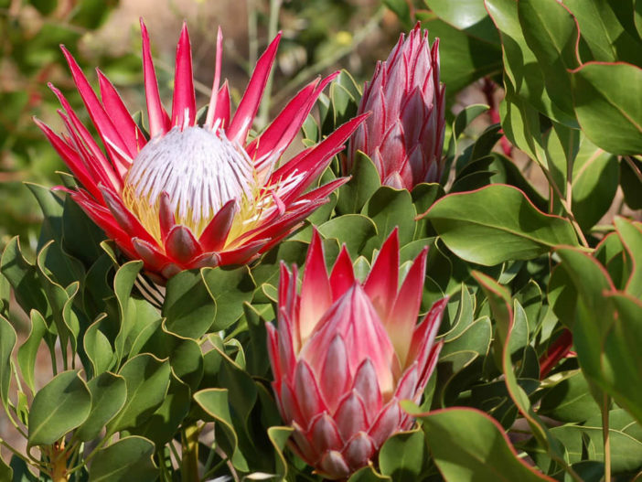 Grow and Care Proteas