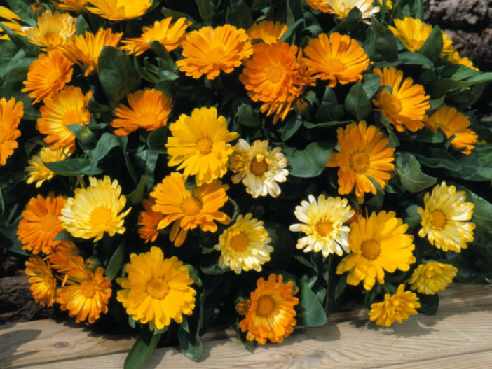 Grow and Care Calendula