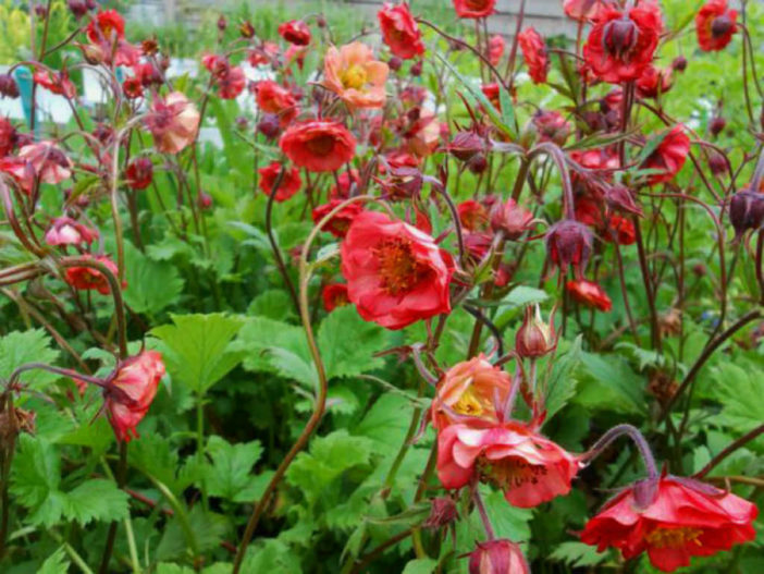 How to grow and care for geum world of flowering plants geum flames of passion mightylinksfo