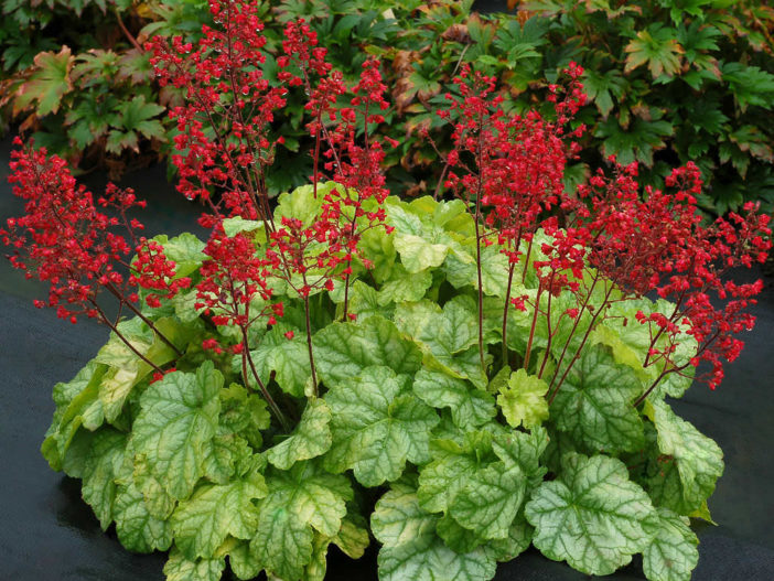 Grow and Care Coral Bells