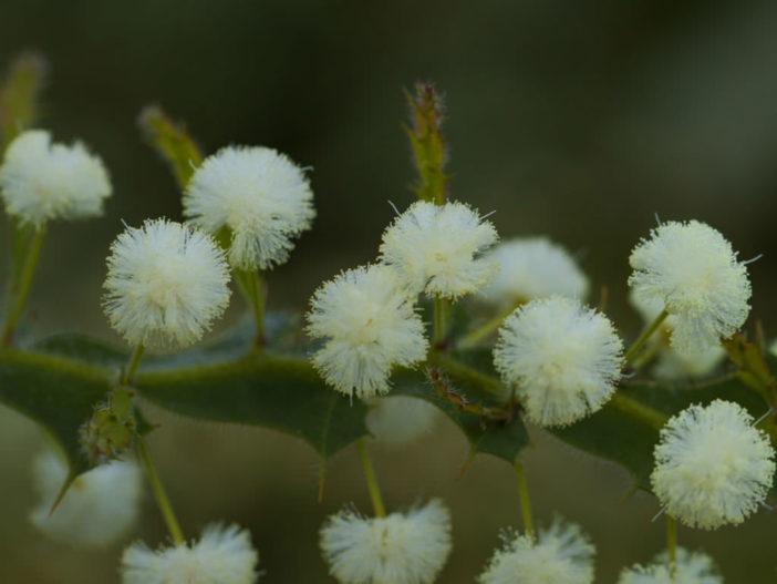 Acacia alata - Winged Wattle
