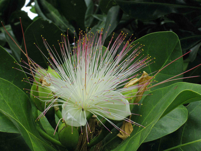 Unusual Flowers (Barringtonia asiatica)