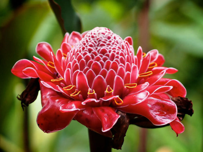 Unusual Flowers - Etlingera elatior