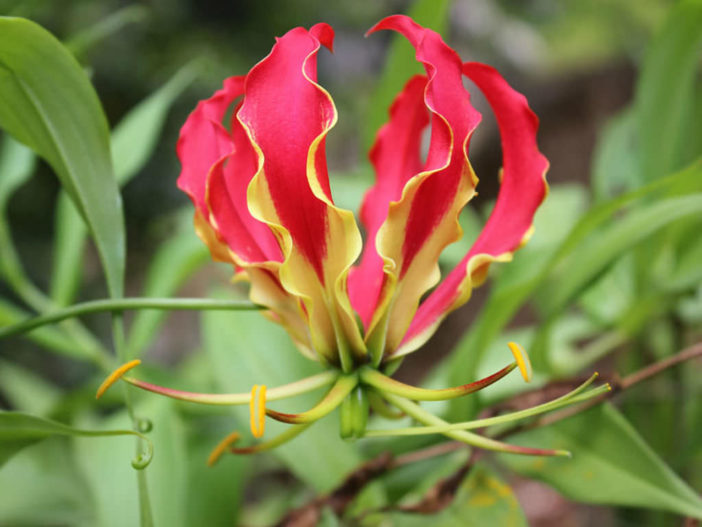 Unusual Flowers - Gloriosa superba
