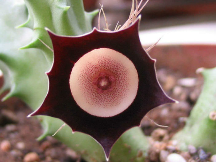 Unusual Flowers - Huernia oculata