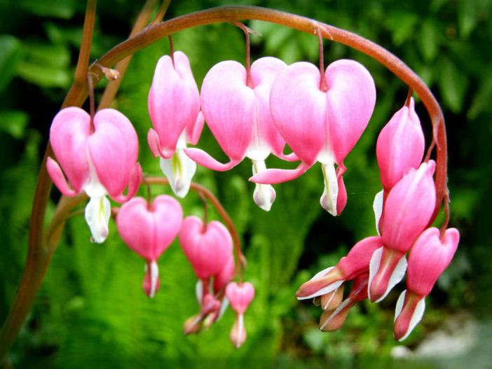 Unusual Flowers (Lamprocapnos spectabilis)
