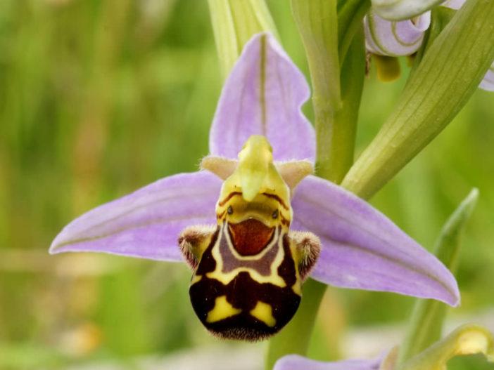 Unusual Flowers (Ophrys apifera)