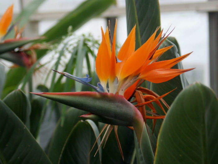 Unusual Flowers (Strelitzia reginae)