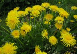 How to Grow and Care for Dandelion