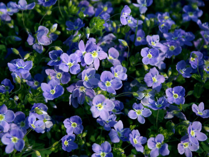 Grow and Care Speedwell