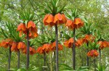 Fritillaria imperialis 'Rubra'