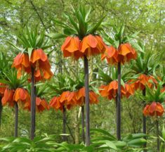 How to Grow and Care for Fritillaria Bulbs
