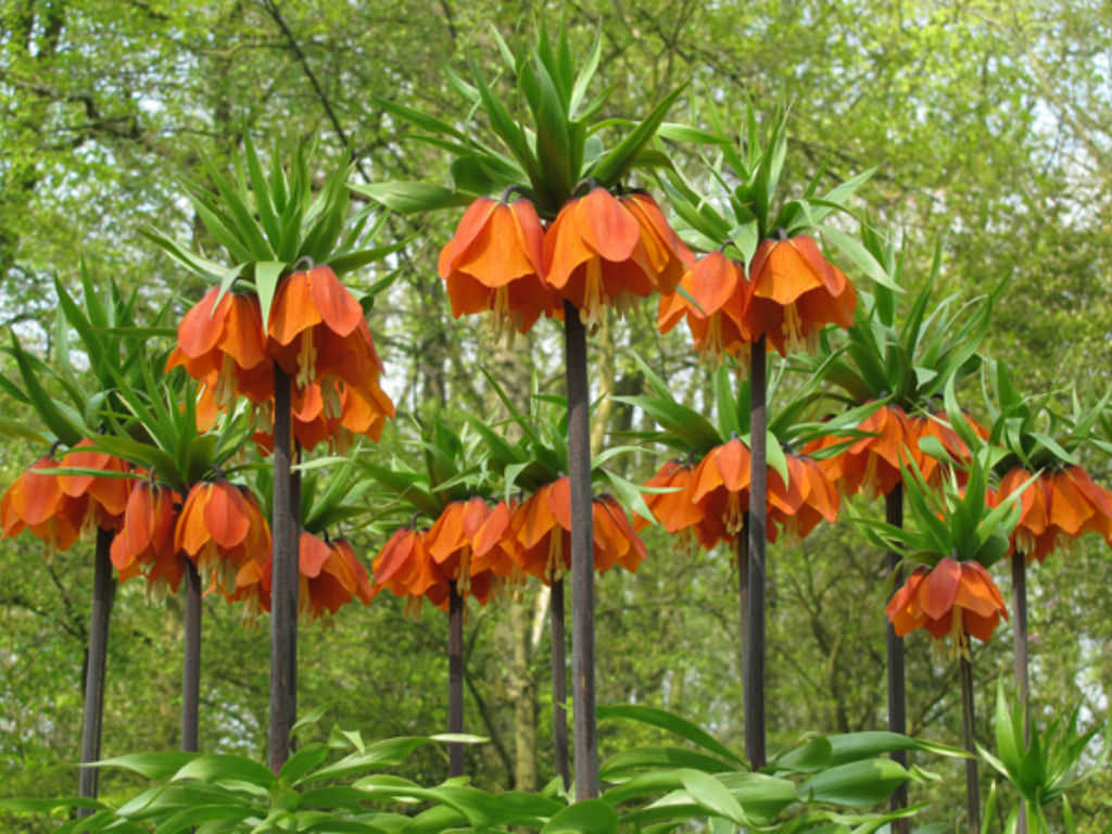 how to grow and care for fritillaria bulbs world of flowering plants. Black Bedroom Furniture Sets. Home Design Ideas