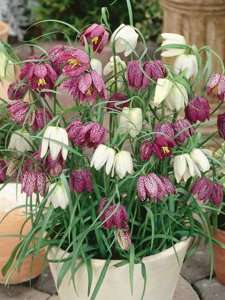 Fritillaria meleagris Snakes Head World of Flowering Plants