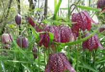 Fritillaria meleagris - Snake's Head