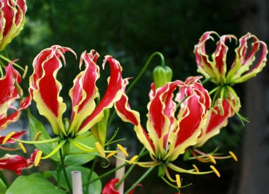 How to Grow and Care for Gloriosa Lilies
