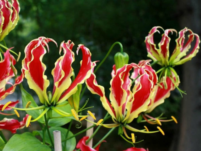 Grow and Care Gloriosa Lilies