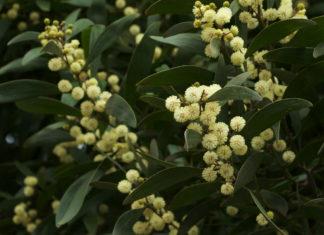 Acacia melanoxylon - Australian Blackwood