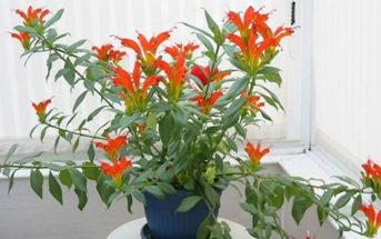 Aeschynanthus speciosus - Basket Plant