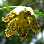 Fritillaria affinis - Checker Lily Chocolate Lily