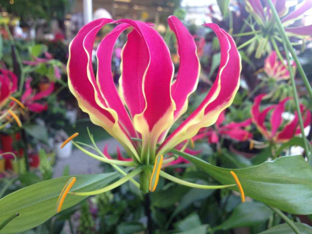 Gloriosa superba - Flame Lily | World of Flowering Plants