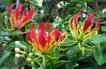 Gloriosa superba - Flame Lily