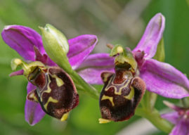 Ophrys apifera – Bee Orchid