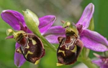 Ophrys apifera - Bee Orchid