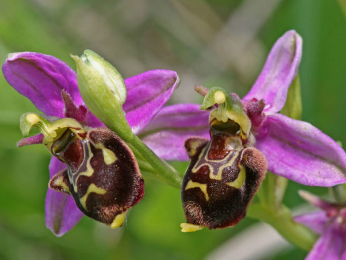how to grow bee orchids