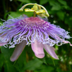 Passiflora incarnata - Purple Passion Flower