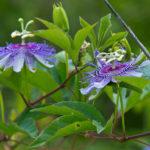 Passiflora incarnata - Purple Passion Flower
