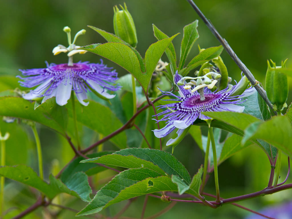Passiflora Incarnata Flower