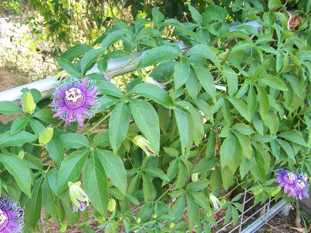 Passiflora Incarnata Purple Passion Flower World Of Flowering Plants