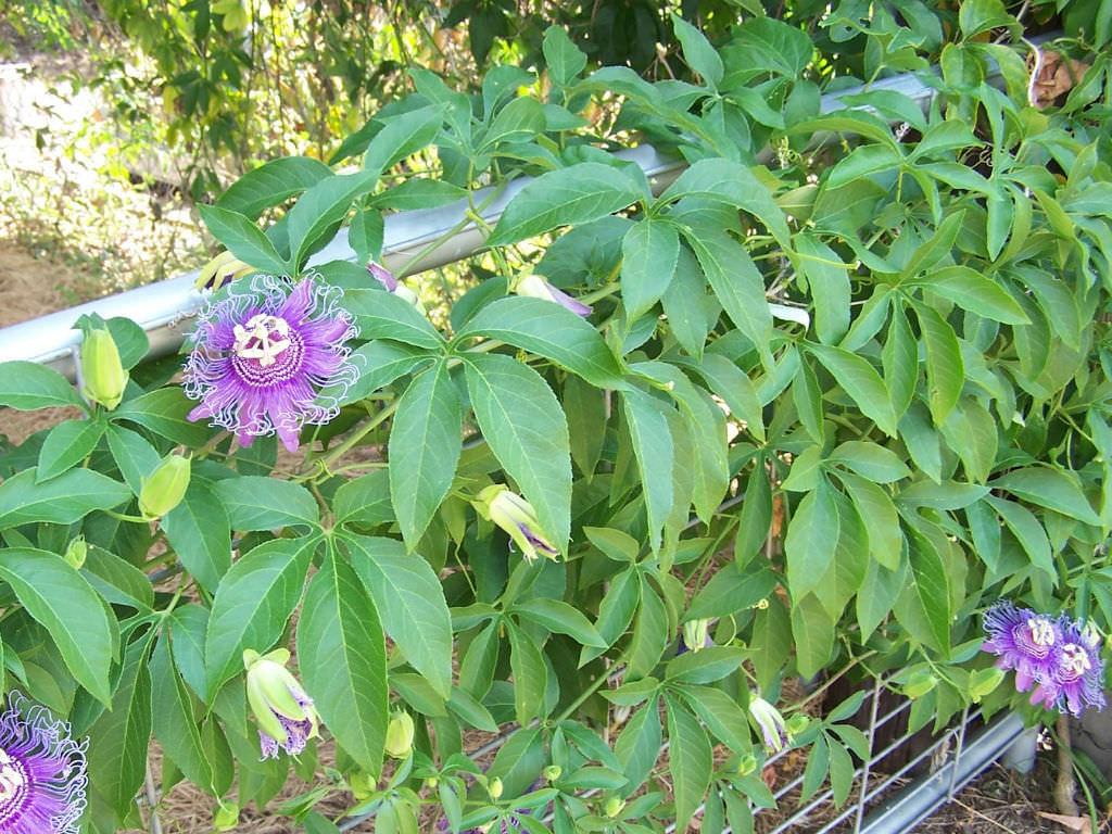 Passiflora incarnata Purple Passion Flower