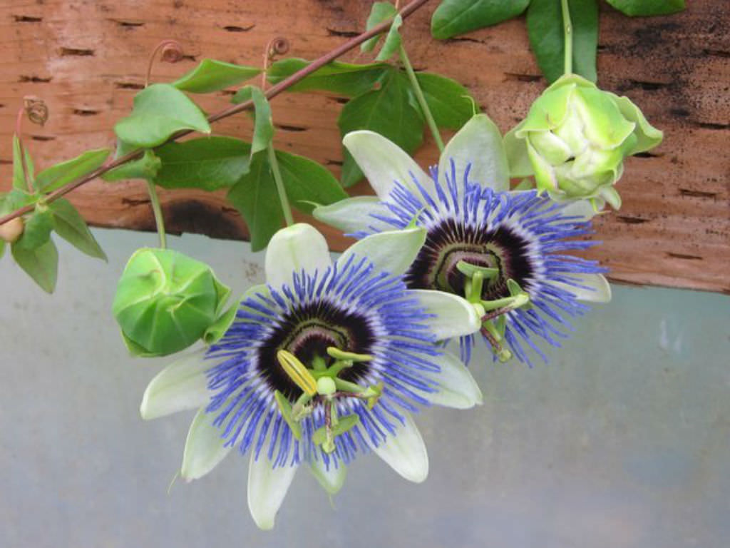 How to Grow and Care for Passion Flowers