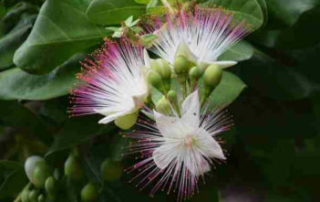 Sea Poison Tree (Barringtonia asiatica)