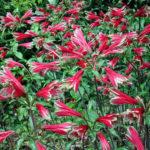 Alstroemeria pulchella - Parrot Lily