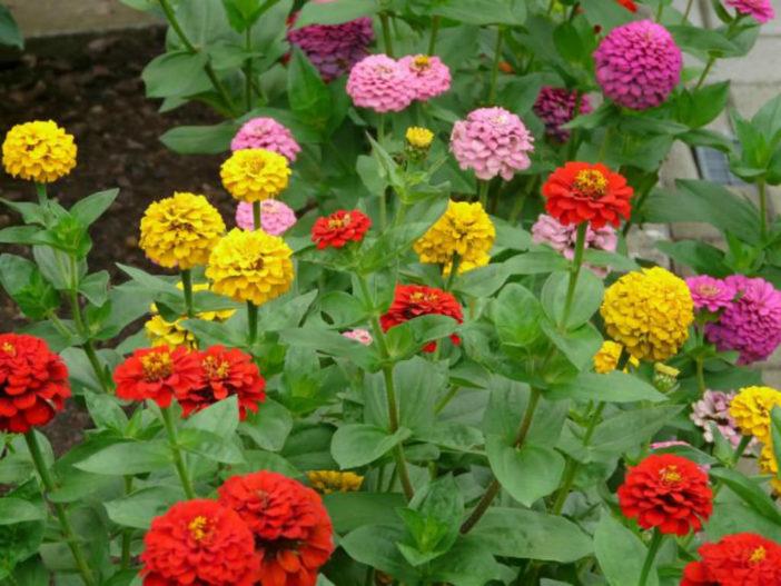 Annual Plant-Zinnia
