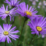 Aster amellus - Italian Aster
