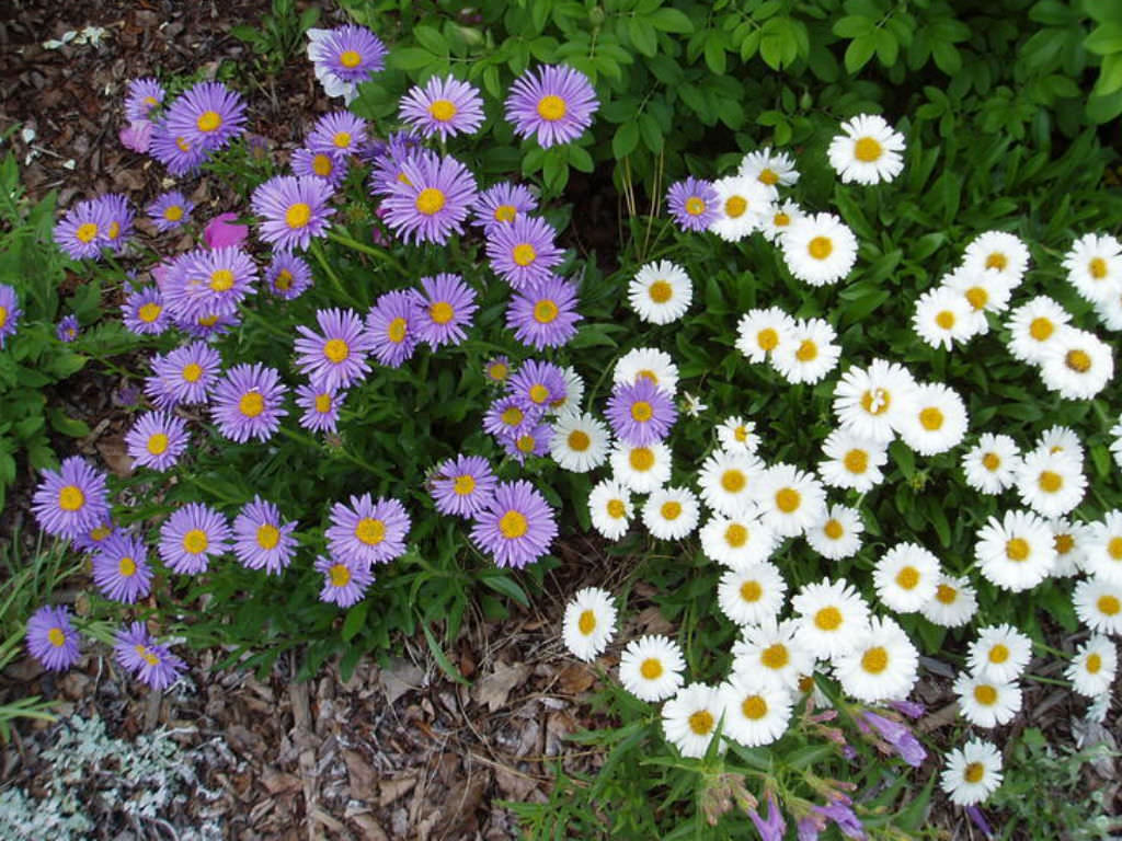 How to grow and care for aster world of flowering plants izmirmasajfo