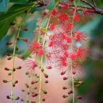 Barringtonia acutangula - Indian Oak