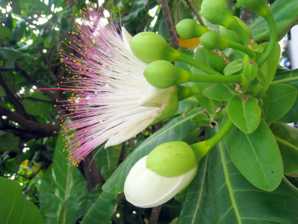 Barringtonia Asiatica Fish Poison Tree World Of