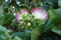 Barringtonia asiatica - Fish Poison Tree
