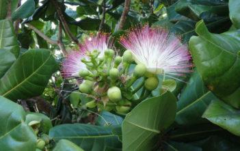 Barringtonia asiatica - Fish Poison Tree