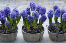 Bilbs (Hyacinthus)
