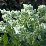 Borago officinalis 'Alba' - White Borage